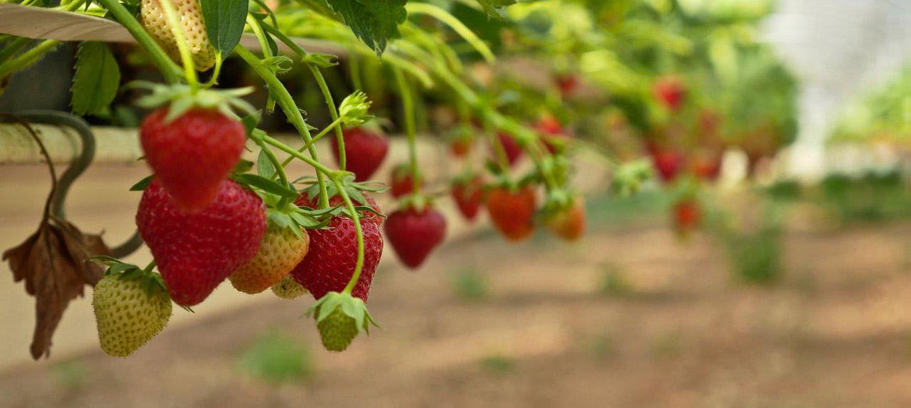 fraises les paniers de José fruits & légumes