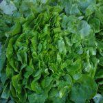 Salades (Batavia, laitue...)